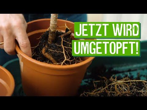 zimmerpflanzen-richtig-umtopfen---der-grüne-tipp-kompakt