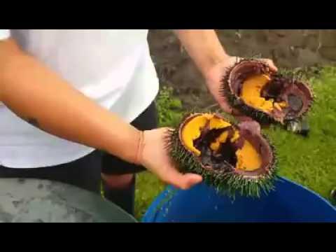Watch Giant Kina's (Sea Urchin) here in New Zealand... 😎