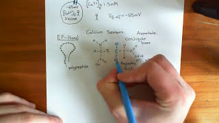 EF Hands and Calmodulin Part 1