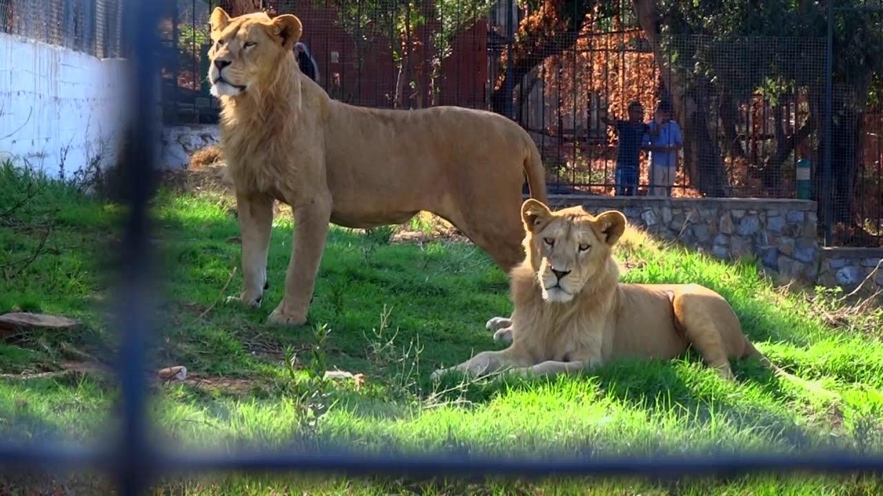 parc animalier de taza jijel lions youtube. Black Bedroom Furniture Sets. Home Design Ideas