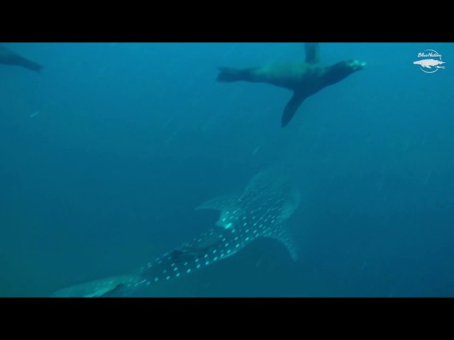 Whale shark while diving in Loreto, Mexico!