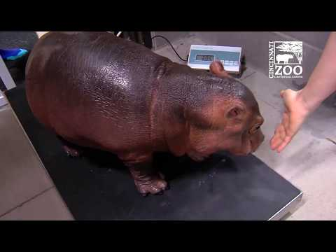 Baby Hippo Fiona Turns 1 - First Year Highlights - Cincinnati Zoo