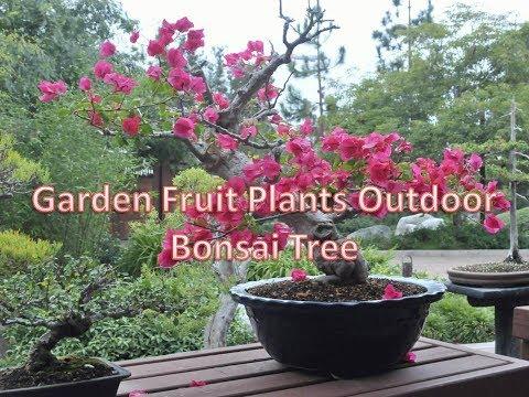 Garden Fruit Plants Outdoor Bonsai Tree YouTube