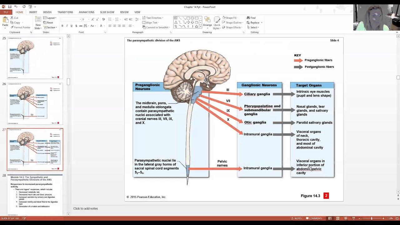 Autonomic Nervous System - YouTube