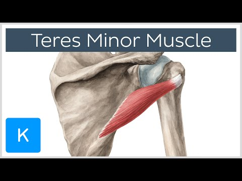 Teres Minor Muscle - Origin, Insertion, Innervation & Action - Human Anatomy | Kenhub