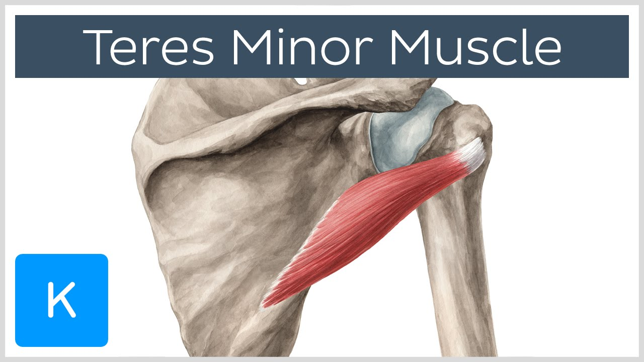 Teres Minor Muscle - Origins & Action - Human Anatomy ...
