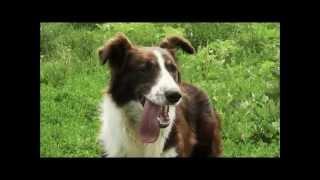 Шелли - красавица собака в дар