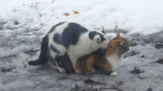 Котикам невтерпеж и спариваются прямо на льду ВИДЕО  18+