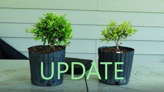 Holly Nursery Stock Bonsai --UPDATE--