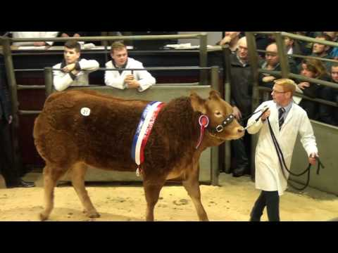 Limousin Red Ladies and calf show and sale Dec 9th 2016