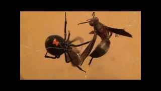 Black Widow Eats Wasp (HD)