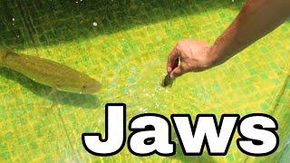 fish-trap-feeds-baby-jaws-battle-in-aquarium