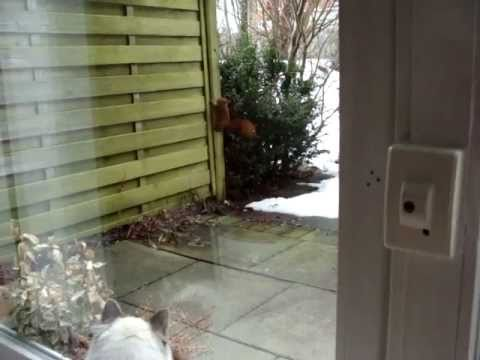 Funny Cat Video: Birman Cat, Tabby and Squirrel