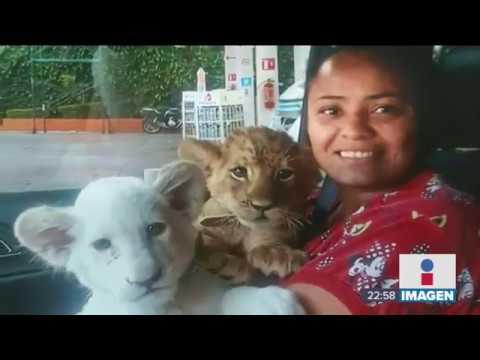 Así vivían tres leones en la Ciudad de México | Noticias con Ciro Gómez Leyva