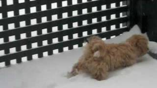 Our maltipoo's first time playing with snow.  Cute little Luna.