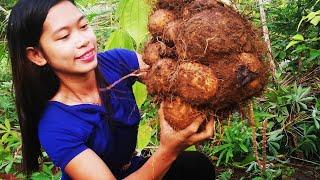Download Eating poisonous root crops  Namo / Kayos - Buhay sa Nayon