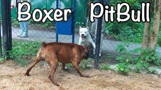 Терьеры против Боксёра