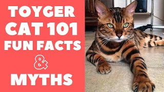 Toyger Cats 101 : Fun Facts & Myths