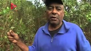 """انتشار زراعة """"القات"""" في مدغشقر يهدد الأمن الغذائي بالبلاد"""