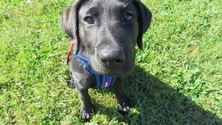 Wesley - Labrador Puppy - 3 Weeks Residential Dog Training