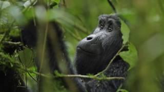 gorilla trekking in uganda long HD