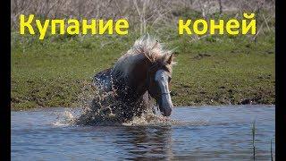 Клип. Купание лошадей.