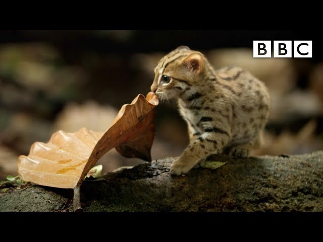 World's smallest cat – Big Cats: Preview – BBC One