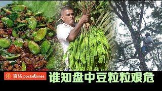 记者首入深山丛林 拍摄讨山人采臭豆