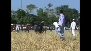 bull fight ষ ড় র লড় ই