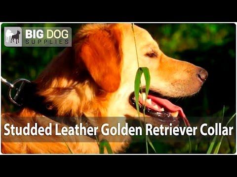 Hilarious Golden Retriever in Stylish Dog Collar Enjoying Summertime