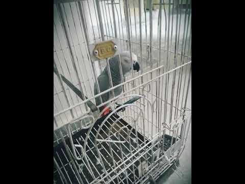 African grey parrot talking in urdu