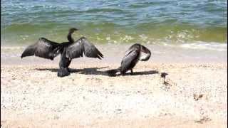 Бакланы на берегу базы отдыха Казачий берег