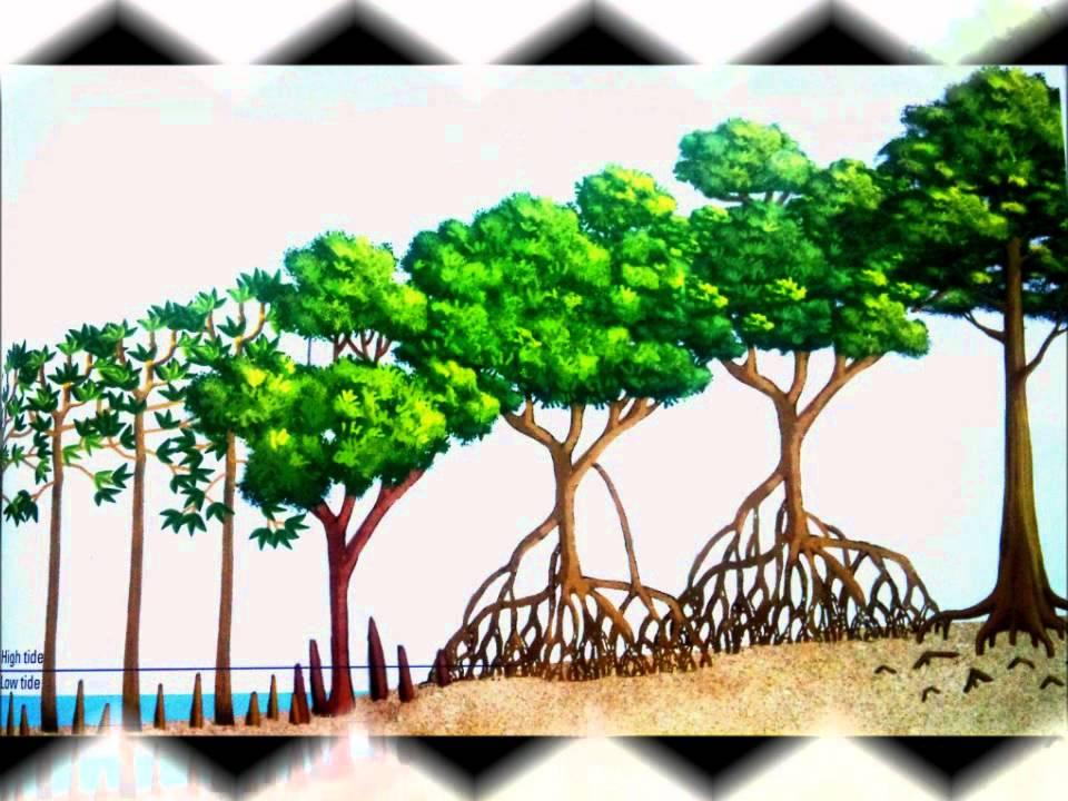 Tropical Mangrove Forest - YouTube  Tropical Mangro...