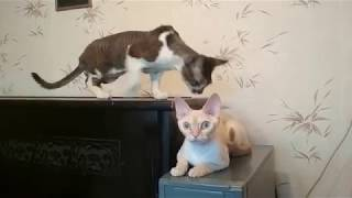 ✅ Кот наблюдает за кошкой девон-рекс