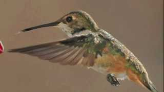 Destination: South - Rufous hummingbirds in Flight