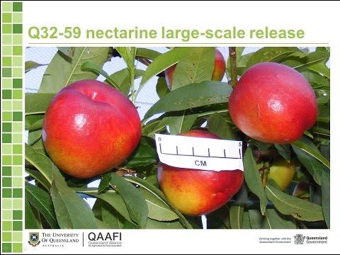 Breeding macadamia and peach in Queensland