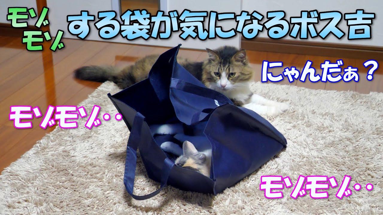 モゾモゾ動く袋が気になって仕方がない巨猫のボス吉