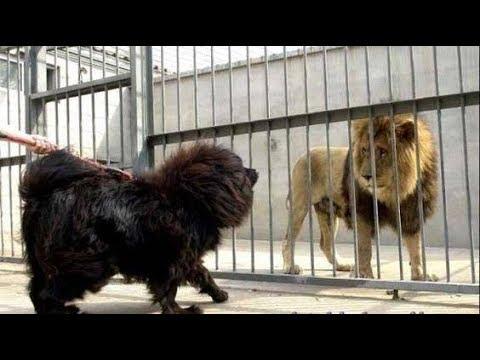 TIBETAN MASTIFF KING OF THE DOGS WORLD