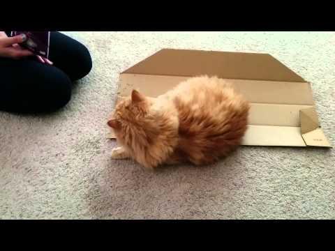 Orange Persian enjoys catnip