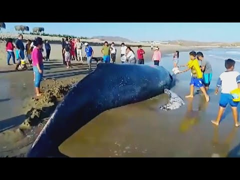 Humans Come to Rescue of Whales in Distress