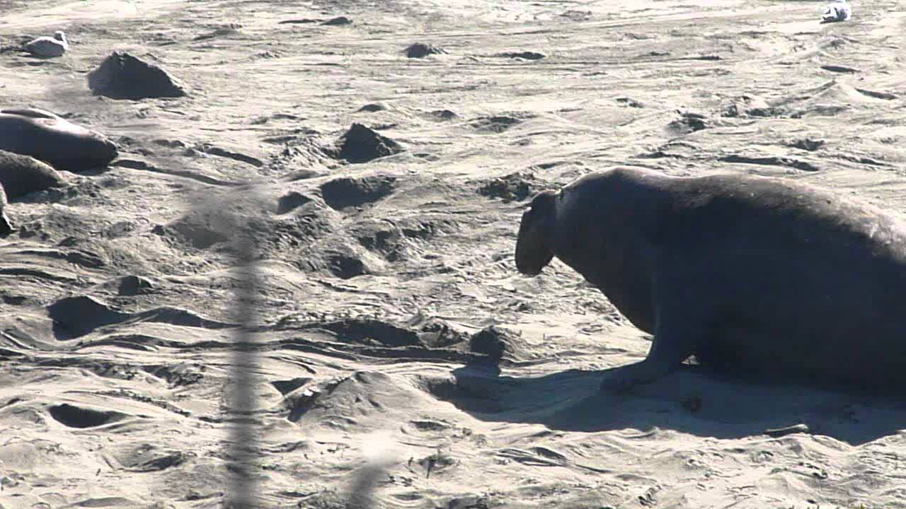6cf0ccbac7a Male Elephant Seal saving his