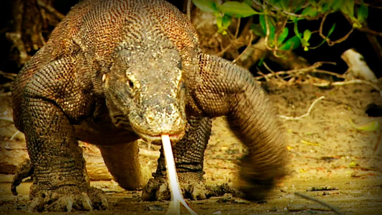 Komodo: Tierra de Dragones (documental completo)