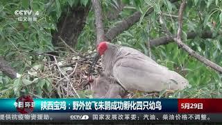 [今日环球]陕西宝鸡:野外放飞朱鹮成功孵化四只幼鸟  CCTV中文国际