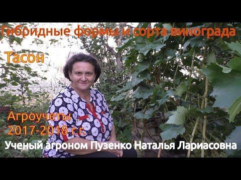 Виноград Тасон- ультраранний с роскошным мускатом (участок Пузенко Натальи Лариасовны)
