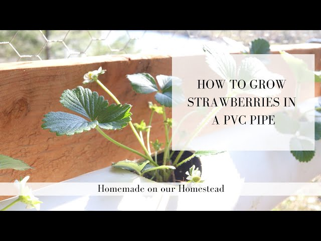 How to GROW STRAWBERRIES in PVC pipe | SMALL SPACE GARDENING | container gardening made easy