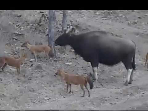 Gaur Mother Defending Calf From Dhole