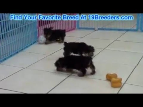 Yorkshire Terrier, Yorkie, Puppies, Dogs, For Sale, In Albany, County, Georgia, GA, Alpharetta