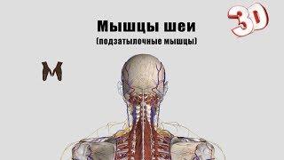 видео Анатомическое строение мышц спины и упражнения для тренировки
