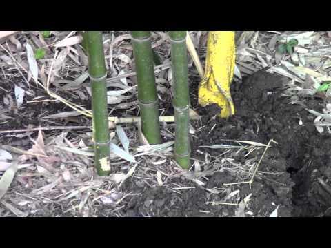 Digging bamboo