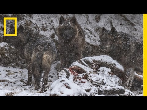 A Man Among Wolves: Photographing Yellowstone's Iconic Predators | National Geographic